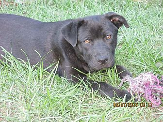 Labrador Retriever/Terrier (Unknown Type, Medium) Mix Puppy for adoption in West Springfield, Massachusetts - Dolly