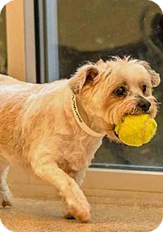 Lhasa Apso Mix Dog for adoption in Gahanna, Ohio - ADOPTED!!!   Gilda