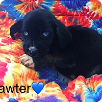 Adopt A Pet :: Pawter - GREENLAWN, NY