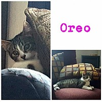 Adopt A Pet :: Oreo - Crestview, FL