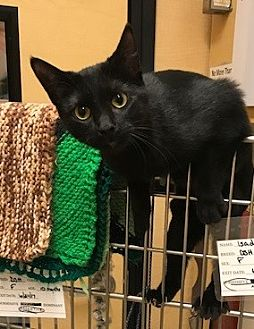 Domestic Shorthair Cat for adoption in Grand Ledge, Michigan - Elektra