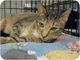 Domestic Shorthair Cat for adoption in The Colony, Texas - Hyacinth