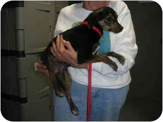 """Dachshund Mix Dog for adoption in MARION, Virginia - """"Maizy"""""""