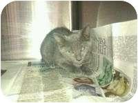 Domestic Shorthair Kitten for adoption in Tampa, Florida - Sadie