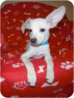 Chihuahua Mix Puppy for adoption in Jackson, Michigan - Bumble Bee