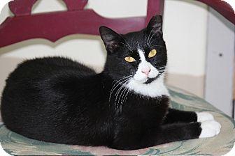 Domestic Shorthair Cat for adoption in Jenkintown, Pennsylvania - Josie