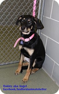 Rottweiler/Coonhound (Unknown Type) Mix Dog for adoption in Bedford, Texas - Oakley aka Angel
