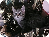 Egyptian Mau Kitten for adoption in Tampa, Florida - Joey