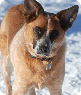 Australian Cattle Dog/German Shepherd Dog Mix Dog for adoption in Delano, Minnesota - Rascal