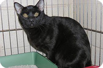 Domestic Shorthair Cat for adoption in Henderson, North Carolina - Coal