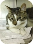 Domestic Shorthair Cat for adoption in Vancouver, British Columbia - Dale