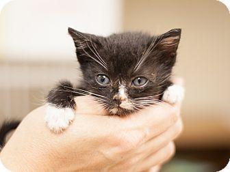 Domestic Shorthair Kitten for adoption in Dallas, Texas - Landon