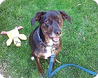 Labrador Retriever Mix Dog for adoption in Sunnyvale, California - Bridget