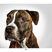Adopt A Pet :: Brad - New York, NY