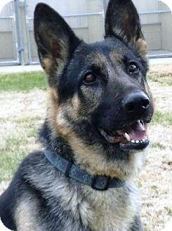 German Shepherd Dog Dog for adoption in Oswego, Illinois - Ziva