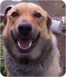 German Shepherd Dog/Golden Retriever Mix Dog for adoption in Brigham City, Utah - Duke