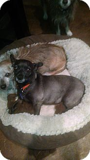 Chihuahua Dog for adoption in Simi Valley, California - Lena