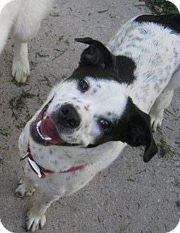 Border Collie Mix Dog for adoption in High View, West Virginia - Daisy