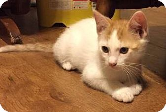 Domestic Shorthair Kitten for adoption in Des Moines, Iowa - Mo