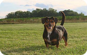 Dachshund Mix Dog for adoption in Brazil, Indiana - Dolly