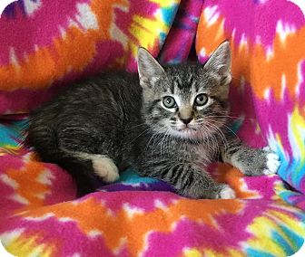 Domestic Shorthair Kitten for adoption in Tampa, Florida - Pebbles
