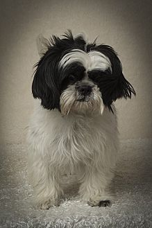 Shih Tzu Dog for adoption in Davie, Florida - Declan Ray