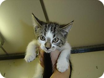 Domestic Shorthair Kitten for adoption in Island Heights, New Jersey - Tyler