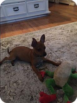 Chihuahua Puppy for adoption in Dallas, Texas - Carlito