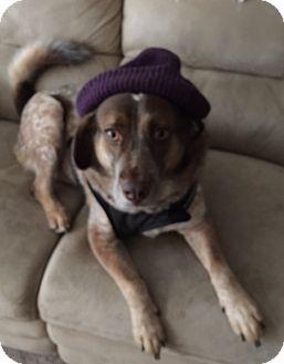 Australian Shepherd/Blue Heeler Mix Dog for adoption in whiting, New Jersey - Hope