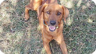 Redbone Coonhound/Labrador Retriever Mix Dog for adoption in Harrisonburg, Virginia - Darla (ETAA)