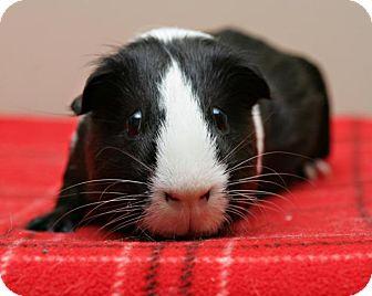 Guinea Pig for adoption in Bellingham, Washington - Remy