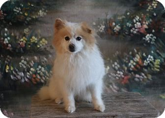 Pomeranian Dog for adoption in conroe, Texas - Charley