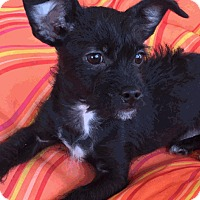 Adopt A Pet :: Steve - Las Vegas, NV