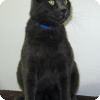 Domestic Shorthair Cat for adoption in Powell, Ohio - Stanley