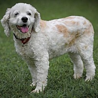 Cocker Spaniel Dog for adoption in Westminster, Maryland - Missie