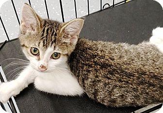 Domestic Shorthair Kitten for adoption in Kalamazoo, Michigan - Paisley