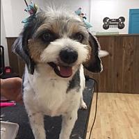 Adopt A Pet :: Dixie - Brattleboro, VT