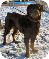 Rottweiler Dog for adoption in Oswego, Illinois - STAR