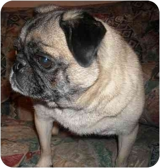 Pug Dog for adoption in Avondale, Pennsylvania - Muffin