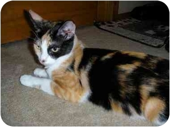 Calico Cat for adoption in Long Beach, New York - Mona