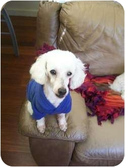 Poodle (Miniature) Dog for adoption in Essex Junction, Vermont - Roscoe