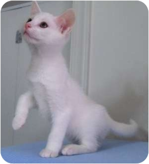 Domestic Shorthair Kitten for adoption in Richmond, Virginia - Sawyer