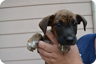 Boxer/Australian Cattle Dog Mix Puppy for adoption in Westminster, Colorado - Bruno
