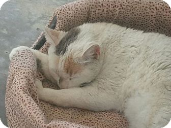 Calico Cat for adoption in Corona del mar, California - huntington
