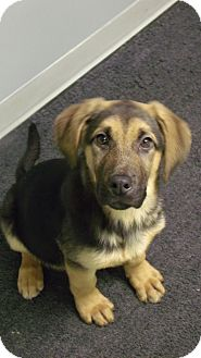 German Shepherd Dog/Coonhound (Unknown Type) Mix Puppy for adoption in Muskegon, Michigan - Dixie