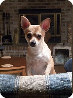 Chihuahua Dog for adoption in Mary Esther, Florida - Milo