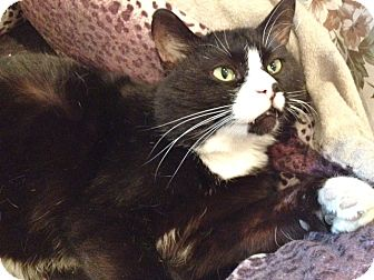 Domestic Shorthair Cat for adoption in Byron Center, Michigan - Trouble