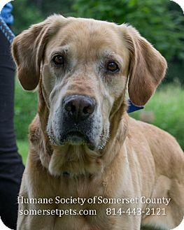 Golden Retriever/Labrador Retriever Mix Dog for adoption in Somerset, Pennsylvania - Buster