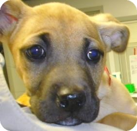 Shepherd (Unknown Type)/Terrier (Unknown Type, Small) Mix Puppy for adoption in Lincolnton, North Carolina - Charlotte