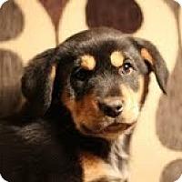 Adopt A Pet :: Belle - Justin, TX